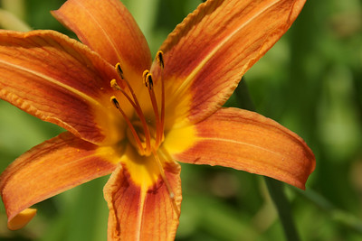 Orange lily in the park
