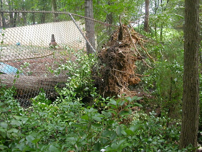 Tree that uprooted in their back yard.  Tree was actually on their neighbor's side but when the ball came up it was in their yard.  Played hell with the fence too.
