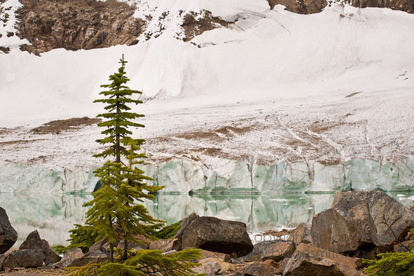 Spruce trees growing just below the Angel Glacier, Jasper National Park, Canada.