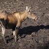 Moose in the mud