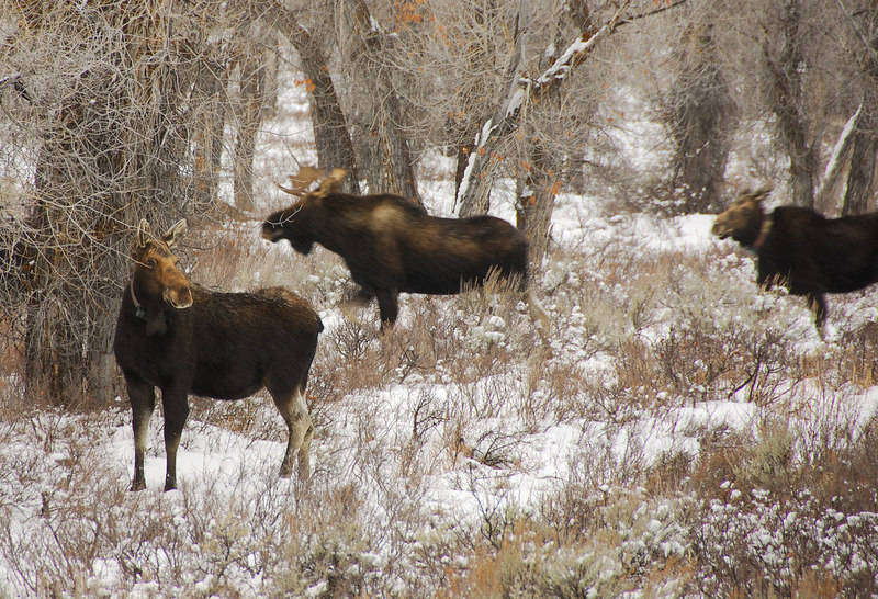 <b>Moose</b>   (Dec 12, 2006, 03:56pm)  <p align=left>Spotted at the side of Route 89, north of Jackson, Wyoming.</p>