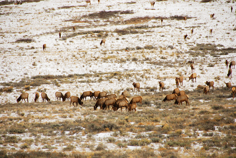<b>Elk herds</b>   (Dec 12, 2006, 02:16pm)  <p align=left>Seen along the National Elk Refuge Road, just north of Jackson, Wyoming.</p>
