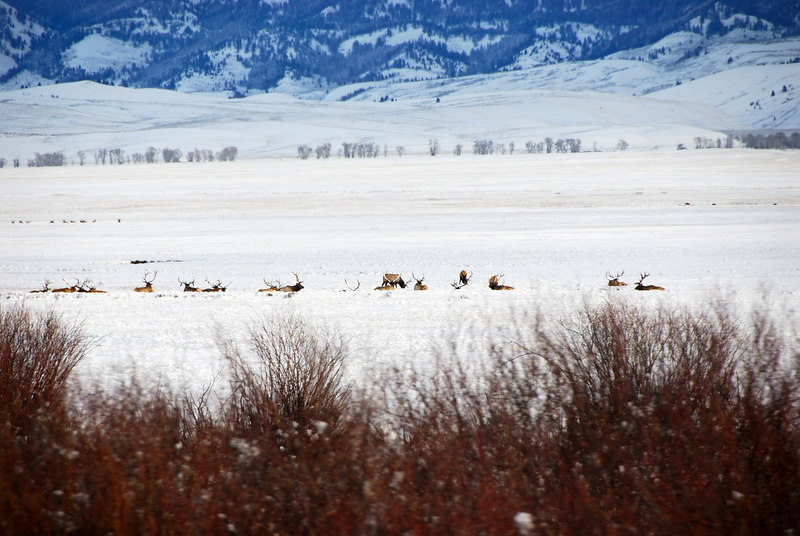 <b>National Elk Refuge</b>   (Dec 14, 2006, 09:32am)  <p align=left>Taken from a moving bus on the way to Jackson Hole airport..</p>