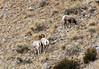<b>Big horn sheep couple</b>   (Dec 12, 2006, 01:52pm)  <p align=left>Seen along the National Elk Refuge Road, just north of Jackson, Wyoming.</p>