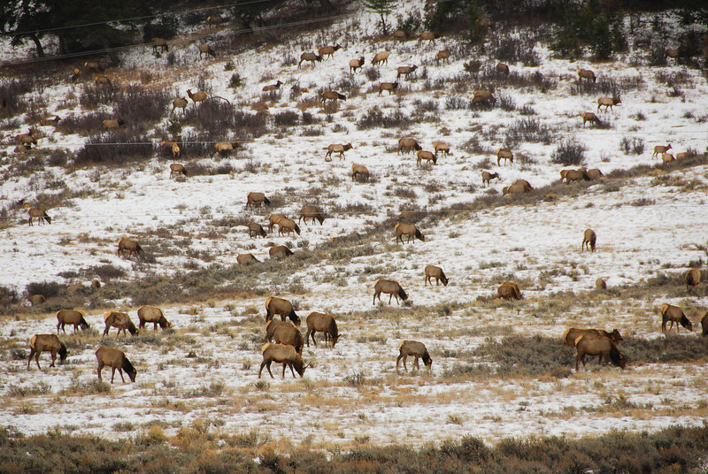 <b>Elk herds</b>   (Dec 12, 2006, 02:10pm)  <p align=left>Seen along the National Elk Refuge Road, just north of Jackson, Wyoming.</p>
