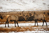 <b>Elk playing</b>   (Dec 13, 2006, 02:34pm)  <p align=left>Picture taken from a wagon (in the rain) at the National Elk Refuge in Jackson Hole.</p>