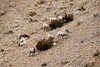 <b>Big horn sheep</b>   (Dec 12, 2006, 01:45pm)  <p align=left>Seen along the National Elk Refuge Road, just north of Jackson, Wyoming.</p>