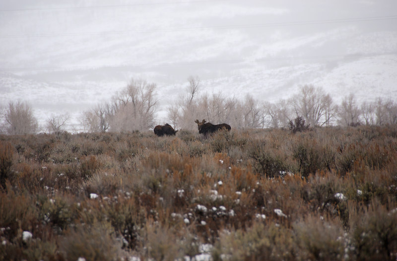 <b>Moose</b>   (Dec 12, 2006, 03:37pm)  <p align=left>A pair of moose, spotted at the side of Route 89, north of Jackson, Wyoming.</p>