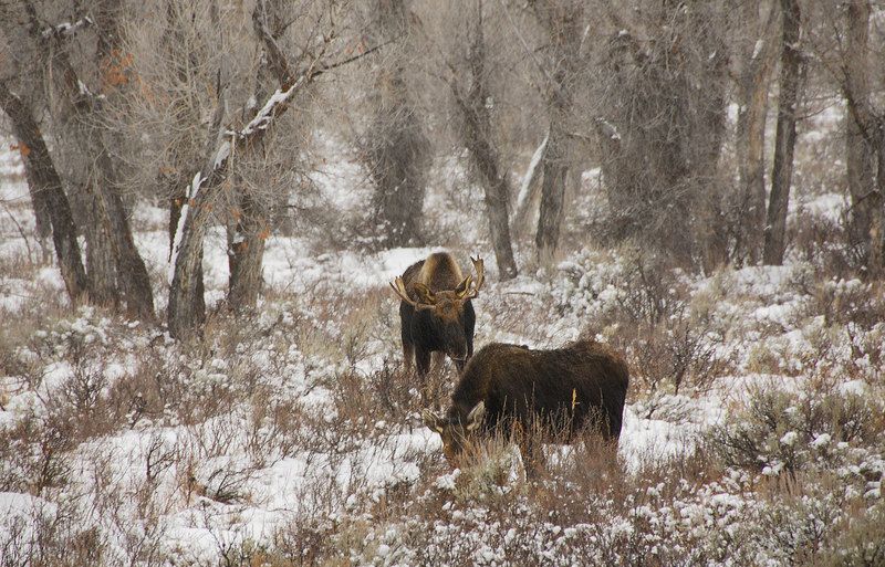 <b>Moose</b>   (Dec 12, 2006, 03:53pm)  <p align=left>Spotted at the side of Route 89, north of Jackson, Wyoming.</p>