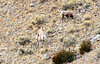 <b>Big horn sheep copulating</b>   (Dec 12, 2006, 01:52pm)  <p align=left>Seen along the National Elk Refuge Road, just north of Jackson, Wyoming.</p>