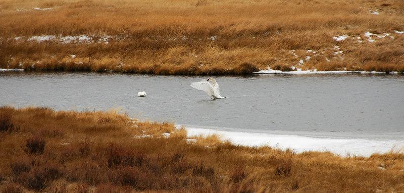 <b>Trumpeter Swan</b>   (Dec 12, 2006, 02:29pm)
