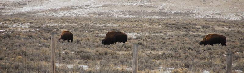 <b>Bison</b>   (Dec 12, 2006, 02:56pm)  <p align=left>Spotted at the side of Route 89, north of Jackson, Wyoming.</p>