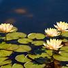 Lillies at Como Park