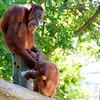 Orangutans at Como Zoo