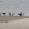 Laughing Gulls, Black Skimmer and Great Black-backed Gull