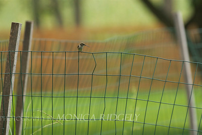 Defensive hummingbird; chased all the birds away from the bird-feeder.