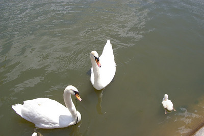 Wednesday, June 8th, 2007: A Stoyer's Dam Swan has a fish hook with line stuck in its beak.