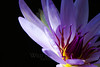 Electric Firefly<br /> <br /> Flower pictured :: Waterlily<br /> <br /> Flower provided by :: Enery Water Gardens<br /> <br /> 071113_013267 v2 ICC sRGB 16x24 pic