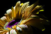 Flower pictured :: Gerbera Daisy<br /> <br /> Flower provided by :: Whole Foods @ Highlands Ranch<br /> <br /> 081212_015085 ICC sRGB 16in x 24in pic