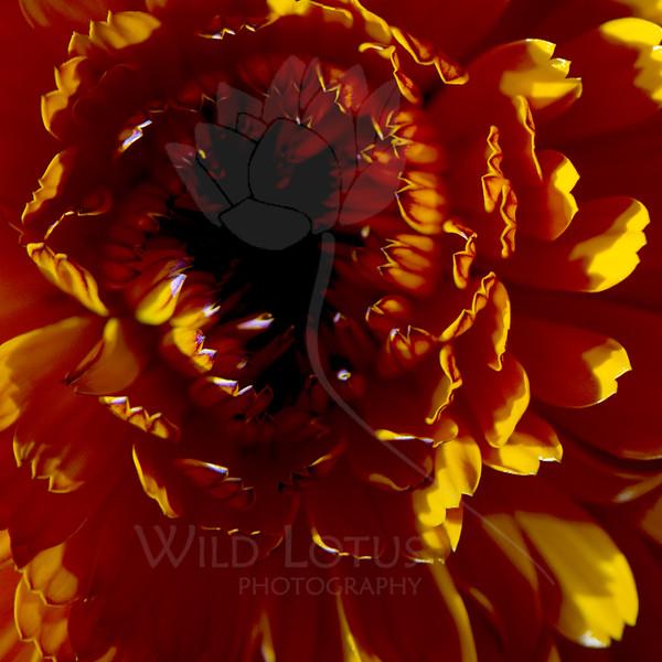 Supernova Blackhole<br /> <br /> Flower pictured :: Marigold<br /> <br /> Flower provided by :: Tagawa Gardens<br /> <br /> 041115_008208 ICC sRGB 16x16 pic