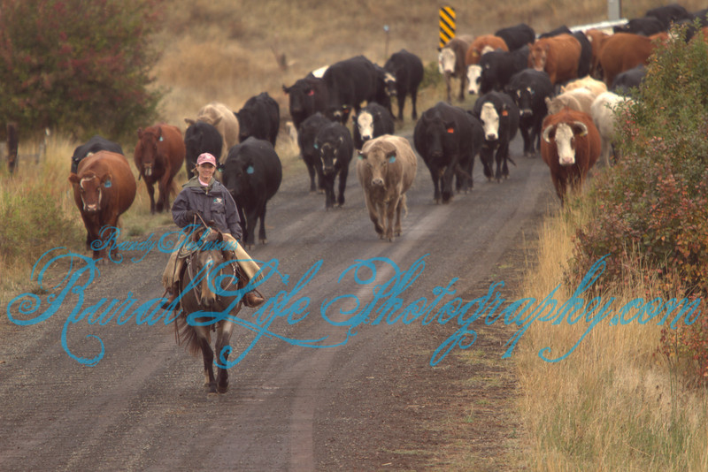 Kayser & Sizemore 2011 Fall Cattle Drive