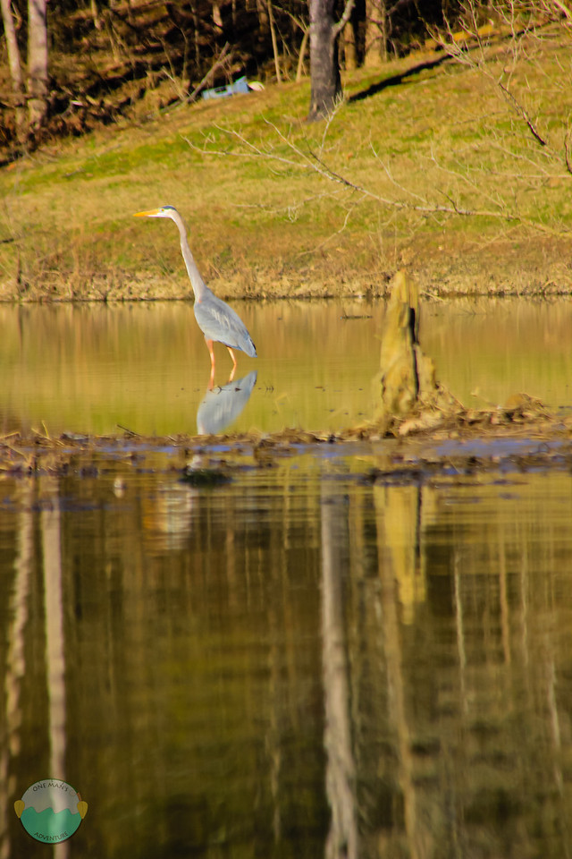 Wading Bird<br /> A bid in the shallows of Kincaid Lake near Falmouth, Kentucky.