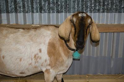 Nanny goat Agricultural and Pastoral Show Kumeu New Zealand - 11 Mar 2007