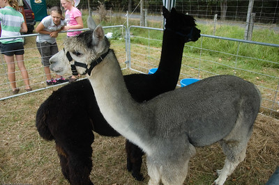 Alpacas Agricultural and Pastoral Show Kumeu New Zealand - 11 Mar 2007