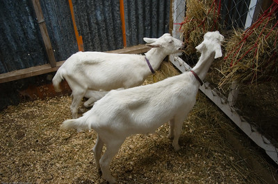 Nanny goats Agricultural and Pastoral Show Kumeu New Zealand - 11 Mar 2007