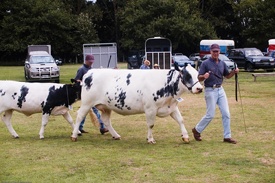 Belgian Blue heifer Agricultural and Pastoral Show Kumeu New Zealand - 11 Mar 2007