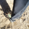 Cholla aka jumping cactus attached itself for a ride - very painful!
