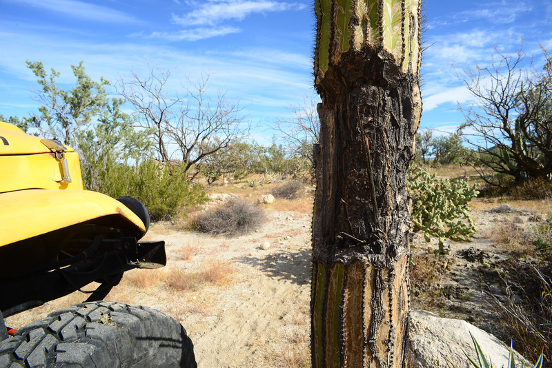 judging by the age of the cactus, this blaze is at least 200 years old