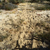 most desert animals and now cows will follow man made roadways even when the road is not visible to our eyes any longer - so, if you want to locate an old road (could be as old as 300 years), follow the animal tracks