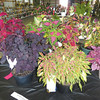 Debbie Wachter/NEWS<br /> Coleus plants are colorfully displayed in the fair vegetable building.