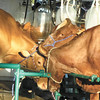 Debbie Wachter/NEWS<br /> Dairy bovines put their heads together in a three-cow pileup while being milked in the milking parlor of the Lawrence County Fair.