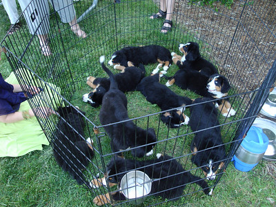 A pen full of Bernese Mountain pups taking a rest at the Caché show after intense salsa dancing.