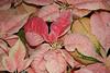 Winterfest Pink Poinsettia.