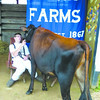 Debbie Wachter/NEWS<br /> Tucker Shevitz, 13, of Slippery Rock Township, hangs out with his Jersey calf, Alley, a spring yearling, while waiting for judging.
