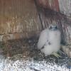 Peregrine Falcon Chick