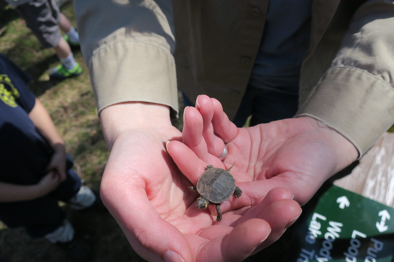 Volunteers at Oak Knoll uncover (and awaken) this hatchling Painted Turtle -- found napping in the leaf litter.