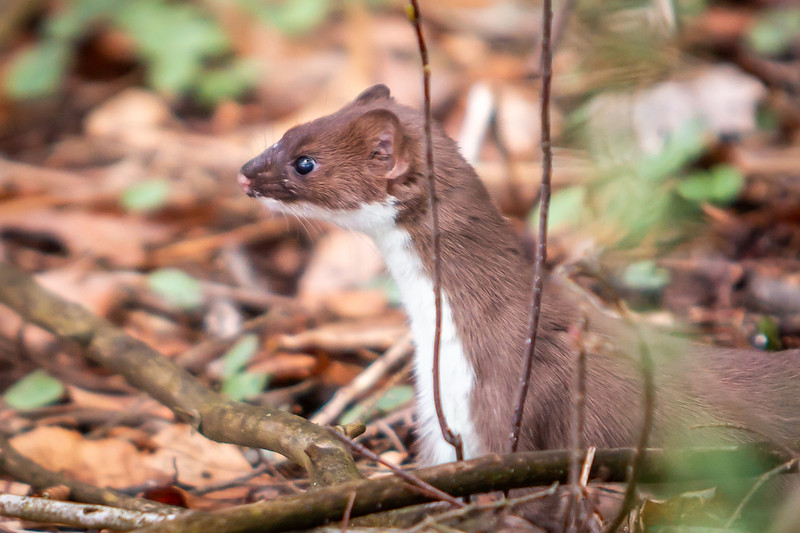 A Short-tailed Weasel approves of the volunteers' efforts at Arcadia.