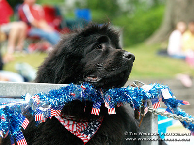 3 year old Kirby, a Newfoundland shepherd, rides in the annual Lebanon Borough Fourth of July parade Wednesday in Borough on a float with his fellow canines from the Therapy Dogs of Hunterdon County. (Photo by: Tim Wynkoop)