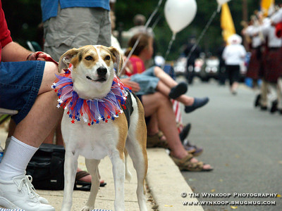 Lebanon Borough, NJ. 7-4-07: Bella, an American Foxhound, shows off her colors during the Lebanon Borough Fourth of July parade Wednesday. (Photo by: Tim Wynkoop)