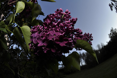 2013 Lilac Festival