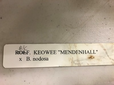 Blc. Keowee 'Mendenhall' X Brassavola nodosa