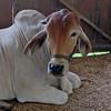 Brahma cattle.