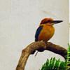Micronesian kingfisher