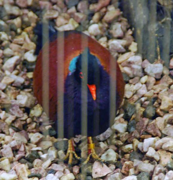 Phesant pigeon