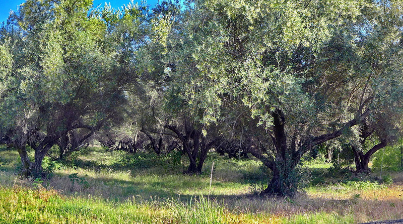 An olive tree forest on Coal Canyon Rd.