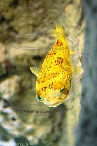A puffer fish, captured at 2500 ISO, f/2.8, and amped up 2.5x in LR5.